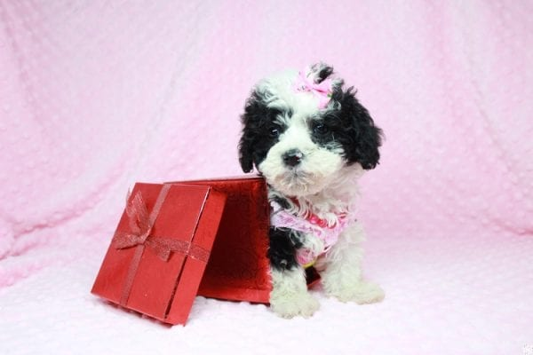 Cookies 'N' Cream - Teacup Maltipoo Puppy has found a good loving home with Jason from Clovis, CA 93619-27028