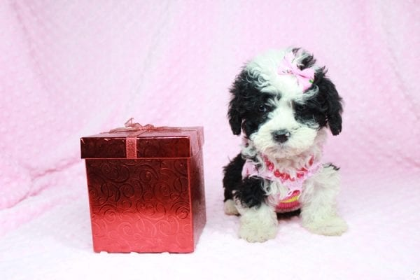Cookies 'N' Cream - Teacup Maltipoo Puppy has found a good loving home with Jason from Clovis, CA 93619-27029