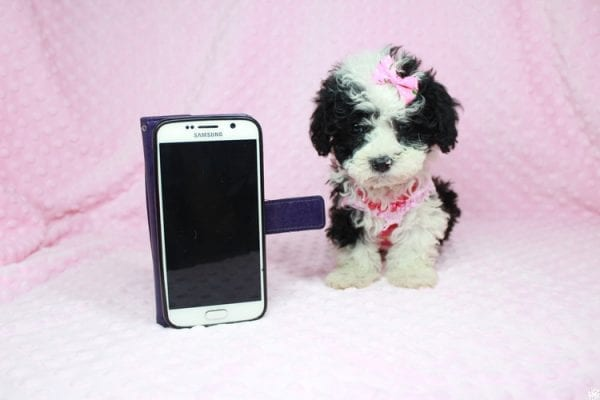 Cookies 'N' Cream - Teacup Maltipoo Puppy has found a good loving home with Jason from Clovis, CA 93619-0