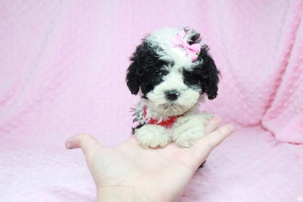 Cookies 'N' Cream - Teacup Maltipoo Puppy has found a good loving home with Jason from Clovis, CA 93619-27031