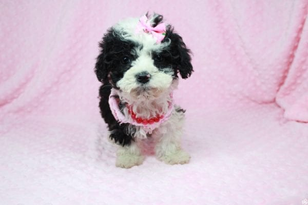 Cookies 'N' Cream - Teacup Maltipoo Puppy has found a good loving home with Jason from Clovis, CA 93619-27025