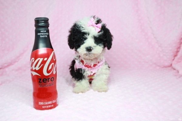 Cookies 'N' Cream - Teacup Maltipoo Puppy has found a good loving home with Jason from Clovis, CA 93619-27026