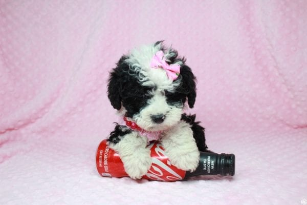 Cookies 'N' Cream - Teacup Maltipoo Puppy has found a good loving home with Jason from Clovis, CA 93619-27024