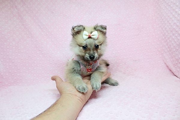 Dior - Toy Pomeranian Puppy has found a good loving home with Maribel from Henderson, NV 89044-0