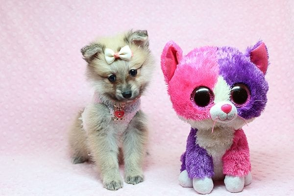 Dior - Toy Pomeranian Puppy has found a good loving home with Maribel from Henderson, NV 89044-26829