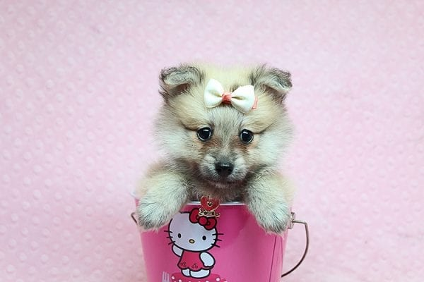 Dior - Toy Pomeranian Puppy has found a good loving home with Maribel from Henderson, NV 89044-26830