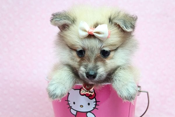 Dior - Toy Pomeranian Puppy has found a good loving home with Maribel from Henderson, NV 89044-26831