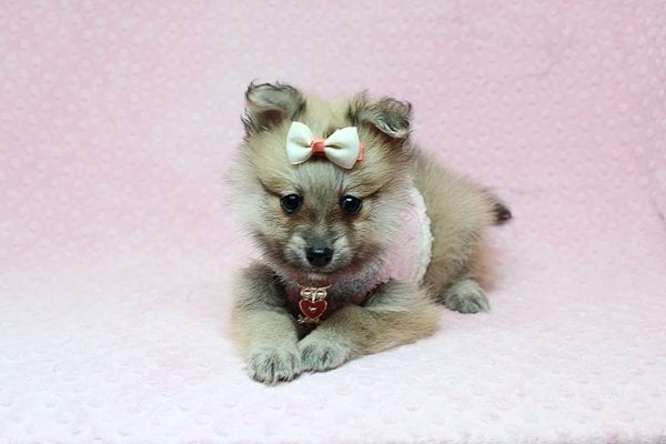 Dior - Toy Pomeranian Puppy has found a good loving home with Maribel from Henderson, NV 89044-26827