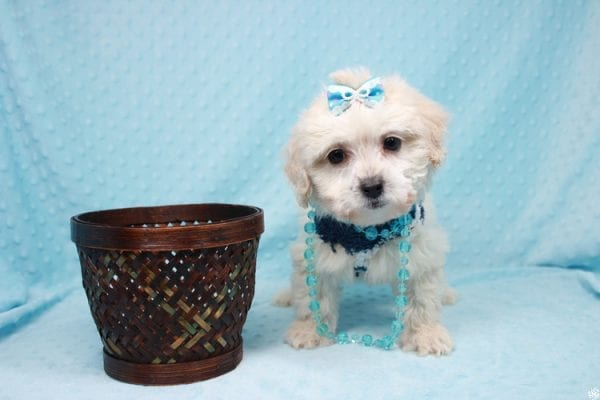 Gaston - Toy Maltipoo Puppy has found a good loving home with Karen&Michael from East Hampton, NY 11937.-26993