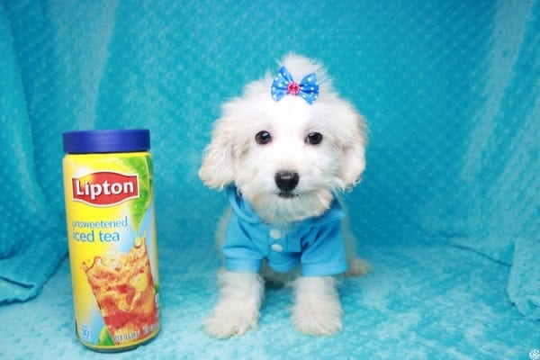 Gaston - Toy Maltipoo Puppy has found a good loving home with Karen&Michael from East Hampton, NY 11937.-27761