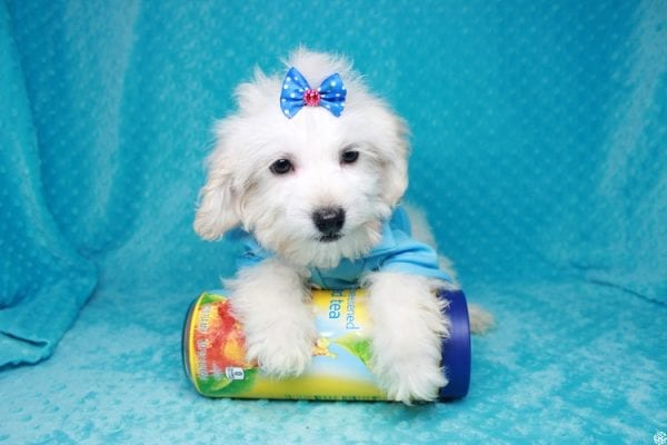 Gaston - Toy Maltipoo Puppy has found a good loving home with Karen&Michael from East Hampton, NY 11937.-27762