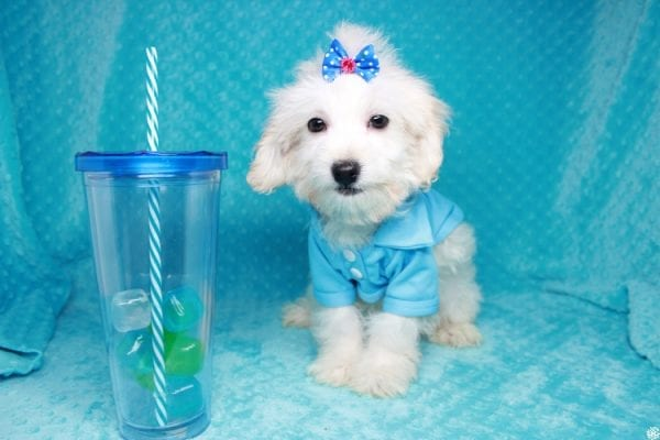 Gaston - Toy Maltipoo Puppy has found a good loving home with Karen&Michael from East Hampton, NY 11937.-27763