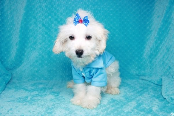 Gaston - Toy Maltipoo Puppy has found a good loving home with Karen&Michael from East Hampton, NY 11937.-27764