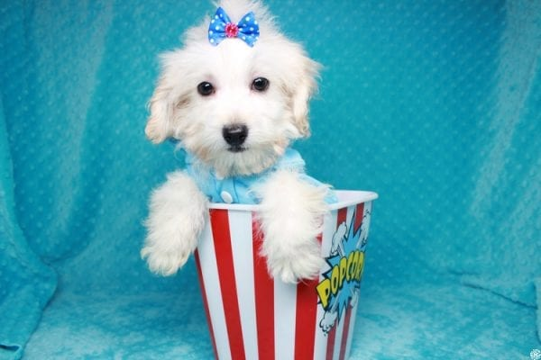 Gaston - Toy Maltipoo Puppy has found a good loving home with Karen&Michael from East Hampton, NY 11937.-27765