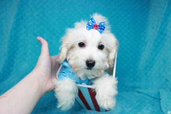 Gaston - Toy Maltipoo Puppy has found a good loving home with Karen&Michael from East Hampton, NY 11937.-27766