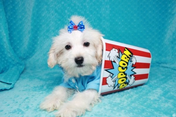 Gaston - Toy Maltipoo Puppy has found a good loving home with Karen&Michael from East Hampton, NY 11937.-0