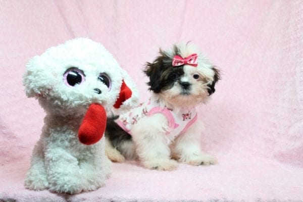 Goldie Hawn - Toy Shih-Tzu puppy found Her Good Loving Home With Kristina and Edwin W. in Oxnard CA, 93033-27153