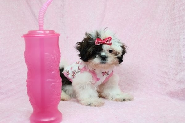 Goldie Hawn - Toy Shih-Tzu puppy found Her Good Loving Home With Kristina and Edwin W. in Oxnard CA, 93033-27155