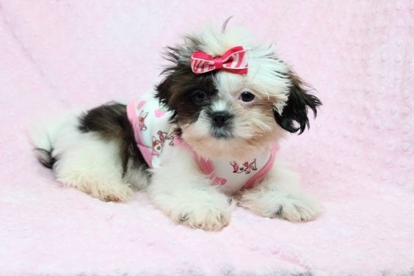 Goldie Hawn - Toy Shih-Tzu puppy found Her Good Loving Home With Kristina and Edwin W. in Oxnard CA, 93033-27154