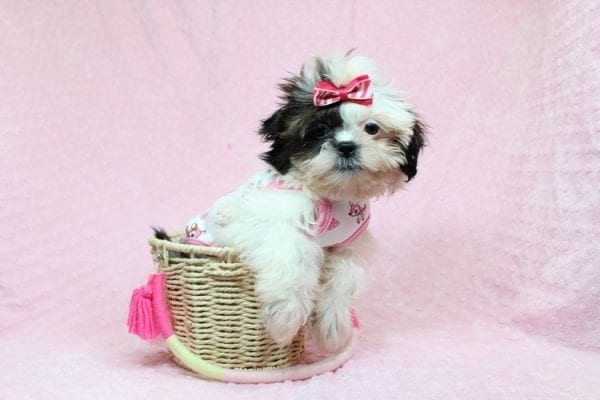 Goldie Hawn - Toy Shih-Tzu puppy found Her Good Loving Home With Kristina and Edwin W. in Oxnard CA, 93033-0