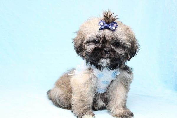 Kenzo - Toy Shih Tzu Puppy Found His Good Loving Home With Navraj S. in Tarzana CA, 91356-26865