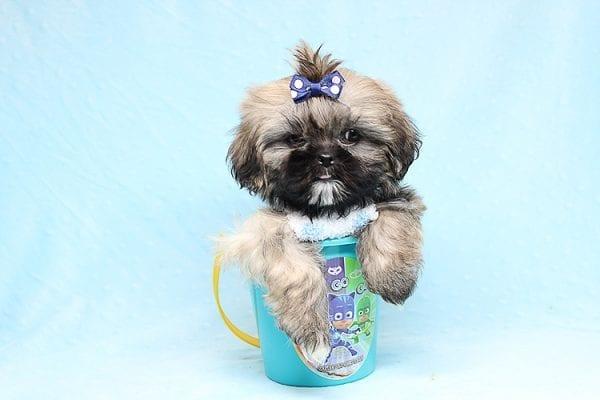 Kenzo - Toy Shih Tzu Puppy Found His Good Loving Home With Navraj S. in Tarzana CA, 91356-26868