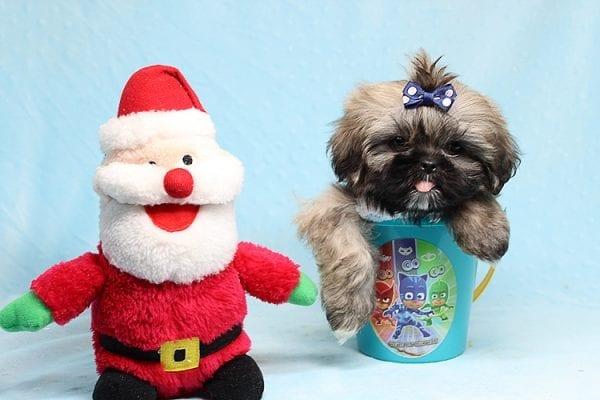 Kenzo - Toy Shih Tzu Puppy Found His Good Loving Home With Navraj S. in Tarzana CA, 91356-0