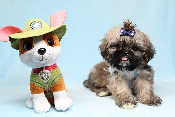 Kenzo - Toy Shih Tzu Puppy Found His Good Loving Home With Navraj S. in Tarzana CA, 91356-26864