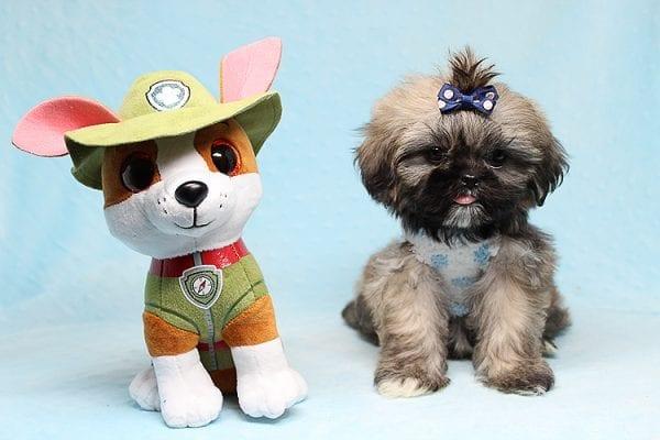 Kenzo - Toy Shih Tzu Puppy Found His Good Loving Home With Navraj S. in Tarzana CA, 91356-26866