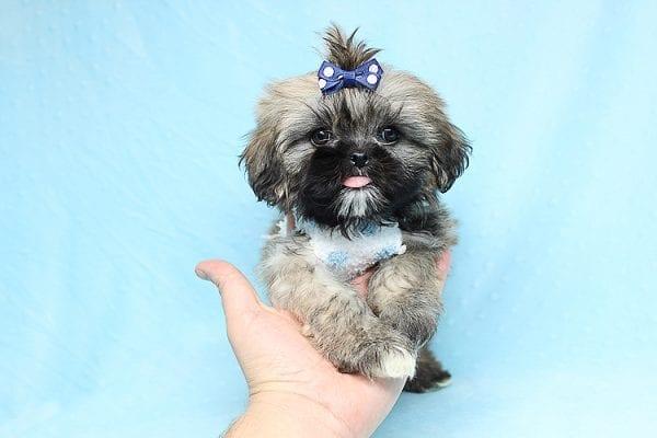 Kenzo - Toy Shih Tzu Puppy Found His Good Loving Home With Navraj S. in Tarzana CA, 91356-26867