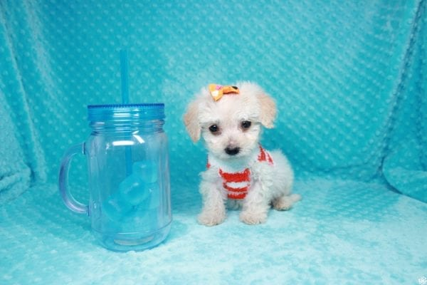 Lego - Toy Maltipoo Puppy has found a good loving home with Garry Allen from North Las Vegas, NV 89031-27097