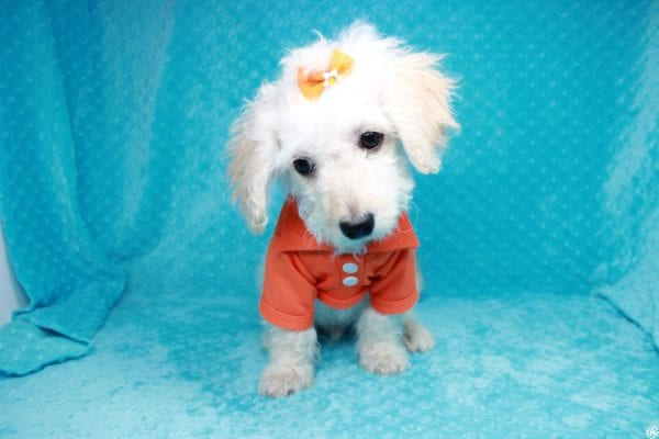 Lego - Toy Maltipoo Puppy has found a good loving home with Garry Allen from North Las Vegas, NV 89031-27757