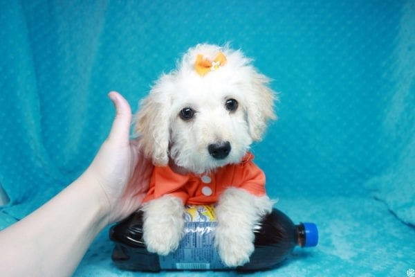Lego - Toy Maltipoo Puppy has found a good loving home with Garry Allen from North Las Vegas, NV 89031-27759