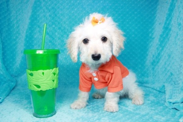 Lego - Toy Maltipoo Puppy has found a good loving home with Garry Allen from North Las Vegas, NV 89031-0