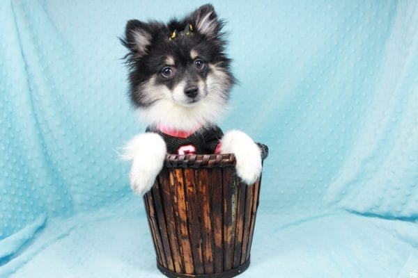Louis Vuitton - Teacup Pomeranian Puppy has found a good loving home with Arthur and Gabriela from Henderson, NV 89074-26963