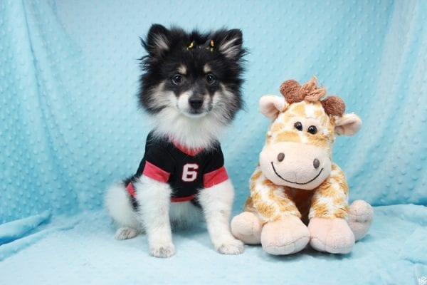 Louis Vuitton - Teacup Pomeranian Puppy has found a good loving home with Arthur and Gabriela from Henderson, NV 89074-26961