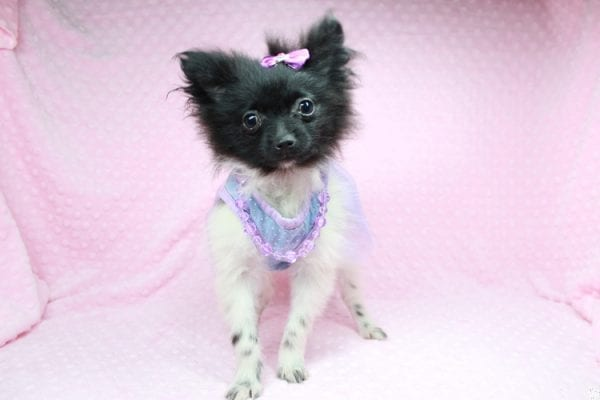 Mirabell - Tiny Teacup Pomeranian Puppy has found a good loving home with Brandi from Pahrump, NV 89061-26717