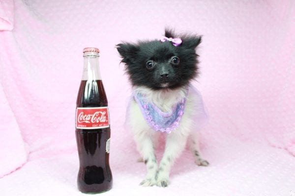 Mirabell - Tiny Teacup Pomeranian Puppy has found a good loving home with Brandi from Pahrump, NV 89061-26718