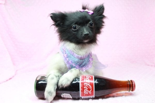 Mirabell - Tiny Teacup Pomeranian Puppy has found a good loving home with Brandi from Pahrump, NV 89061-0