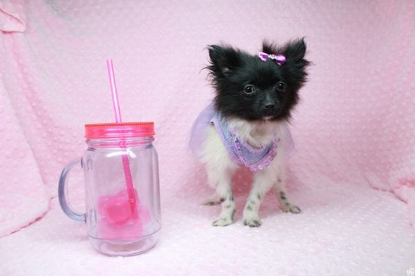 Mirabell - Tiny Teacup Pomeranian Puppy has found a good loving home with Brandi from Pahrump, NV 89061-26720