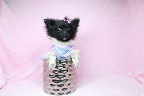 Mirabell - Tiny Teacup Pomeranian Puppy has found a good loving home with Brandi from Pahrump, NV 89061-26721