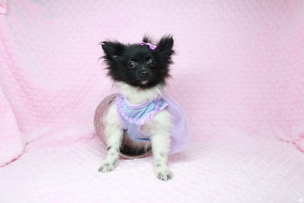Mirabell - Tiny Teacup Pomeranian Puppy has found a good loving home with Brandi from Pahrump, NV 89061-26722