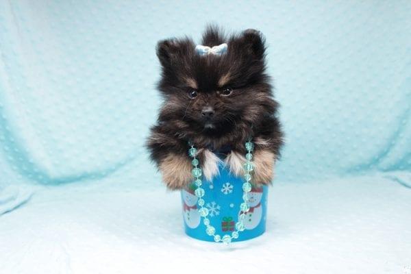 Sensation - Tiny Teacup Pomeranian Puppy has found a good loving home with Alexandra from Rialto, CA 92375-26684