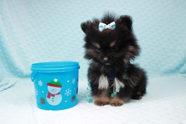 Sensation - Tiny Teacup Pomeranian Puppy has found a good loving home with Alexandra from Rialto, CA 92375-26685