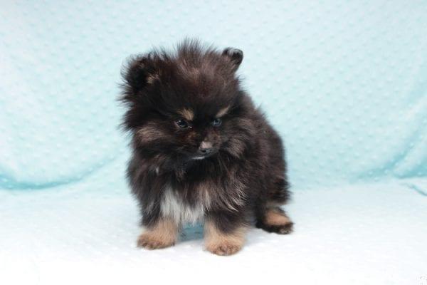 Sensation - Tiny Teacup Pomeranian Puppy has found a good loving home with Alexandra from Rialto, CA 92375-26686