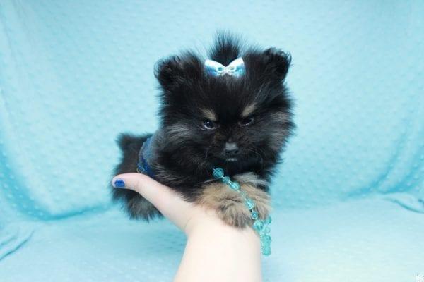 Sensation - Tiny Teacup Pomeranian Puppy has found a good loving home with Alexandra from Rialto, CA 92375-26681
