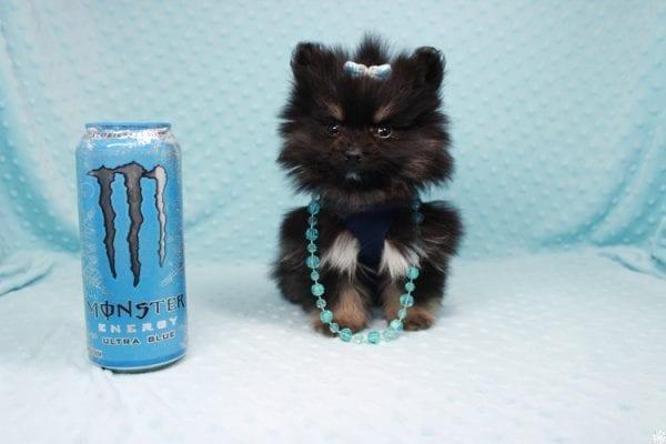 Sensation - Tiny Teacup Pomeranian Puppy has found a good loving home with Alexandra from Rialto, CA 92375-0