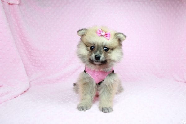Cream - Teacup Pomeranian Puppy has found a good loving home with Sambhu from Las Vegas, NV 89102-26707