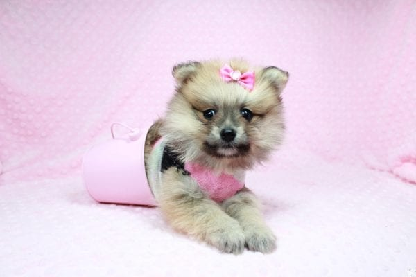 Cream - Teacup Pomeranian Puppy has found a good loving home with Sambhu from Las Vegas, NV 89102-26705