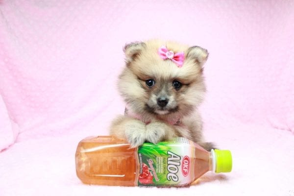 Cream - Teacup Pomeranian Puppy has found a good loving home with Sambhu from Las Vegas, NV 89102-0